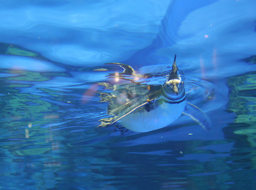 すみだ水族館 in 東京スカイツリータウン ペンギンが元気に泳ぎまくる