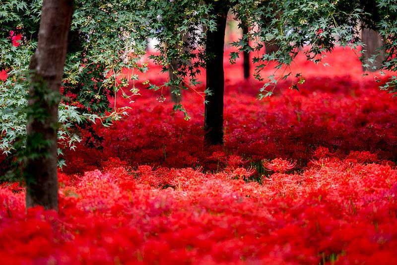 妖しく美しい真紅の絨毯 巾着田の曼珠沙華