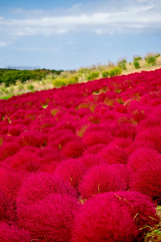 FUJIFILM X-T10+XF35mmF1.4 R 一面の赤いまりも? コキアの紅葉@ひたち海浜公園 #minpos #FujifilmX