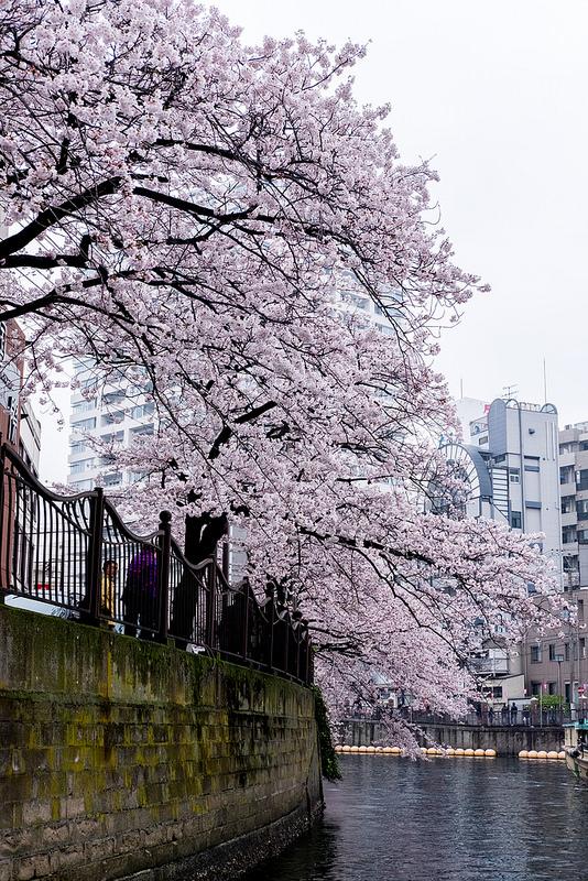 東京湾を横断して横浜大岡川お花見クルージング #ヤマハマリン #シースタイル