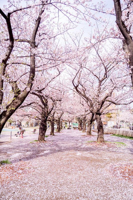 錦糸公園の夜桜と桜の絨毯 #CM10商品モニター中 #LUMIX