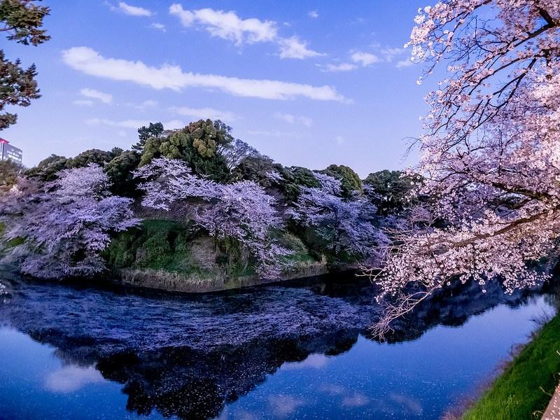 千鳥ヶ淵の夜桜 ライトアップなしでもスローシャッターで #桜 #Locketsリレー