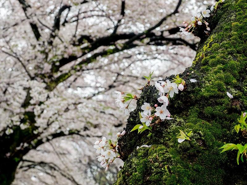 雨の善福寺川緑地の桜並木 #桜 #Locketsリレー