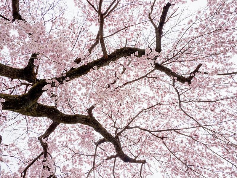 京都 醍醐寺の桜  #桜 #Locketsリレー