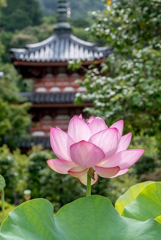 夏の京都 三室戸寺と萬福寺の蓮の花
