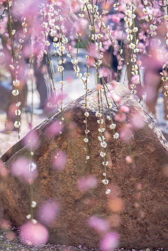 京都 城南宮 神苑 源氏物語花の庭 しだれ梅と椿まつり