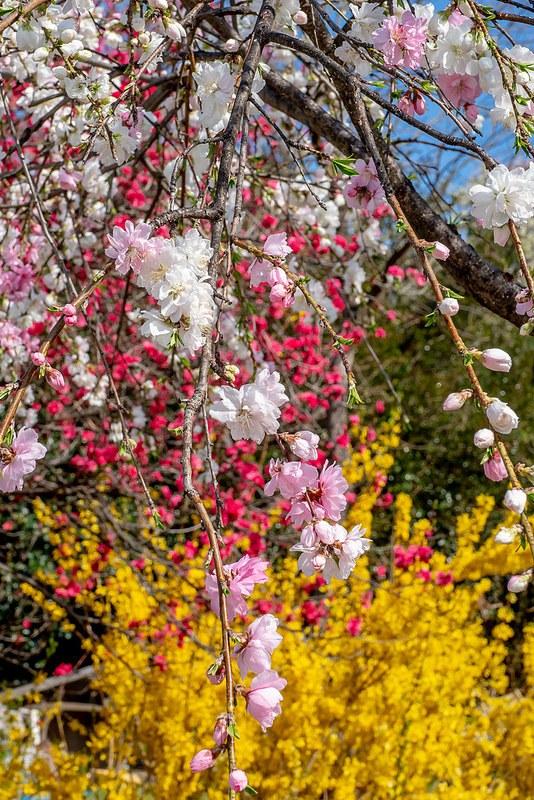 色とりどりの花見山公園 #Locketsリレー2018春 #桜 #こぶツアー