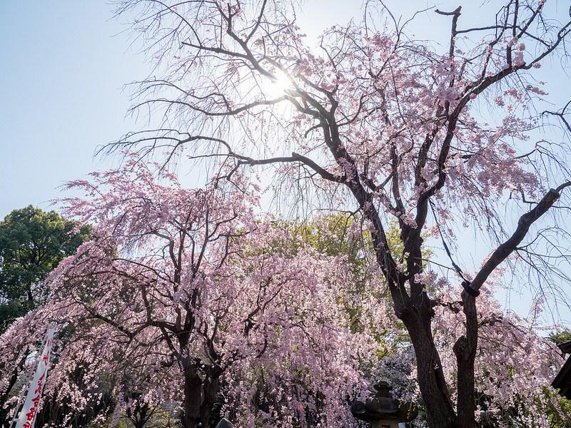 しだれ桜や八重桜も綺麗 上野公園の桜 #Locketsリレー2018春 #桜
