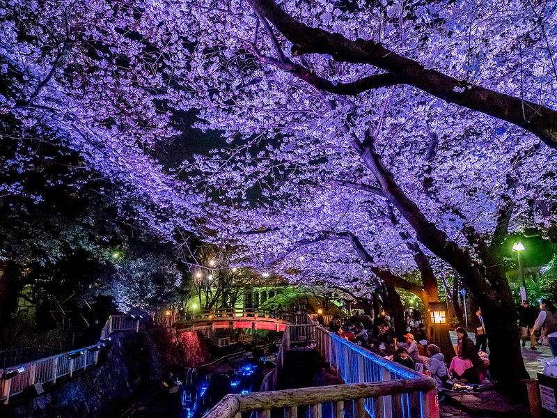 配色の美しさが印象的 東京都北区 音無親水公園の桜ライトアップ #Locketsリレー2018春 #桜 #osl2018