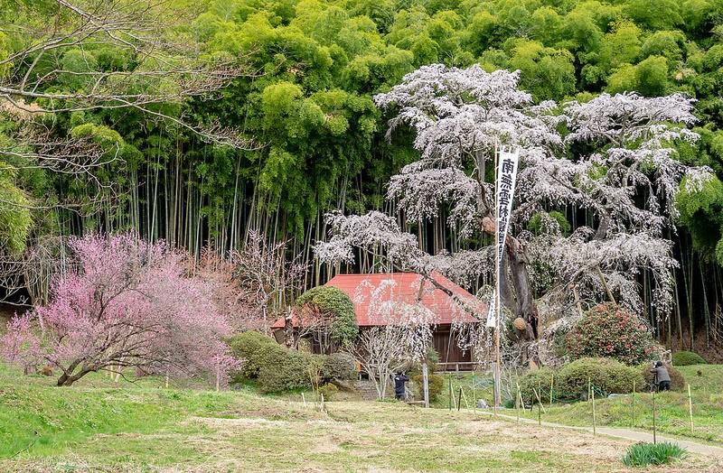 絵画のような竹林と一本桜と梅のコラボ 雪村桜 #Locketsリレー2018春 #桜 #こぶツアー