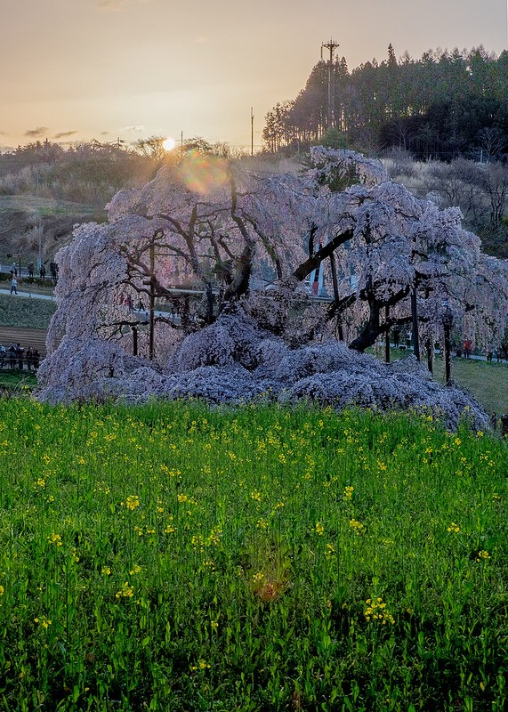 日本三大桜 三春滝桜と日の出 #Locketsリレー2018春 #桜 #こぶツアー