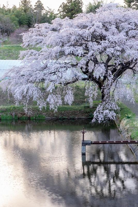 夕日をバックに水面に映る芳水の桜 #Locketsリレー2018春 #桜 #こぶツアー