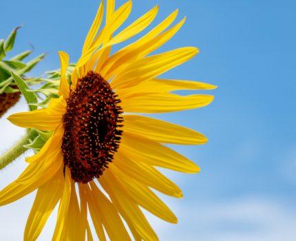万博記念公園のもう一つの太陽 1万株のひまわり