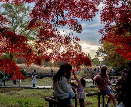 立川 昭和記念公園 黄葉・紅葉まつり