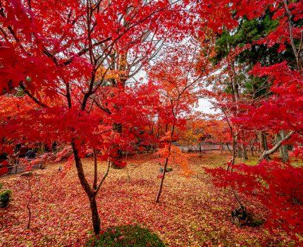 京都の紅葉めぐり 一面の紅に染まった永観堂