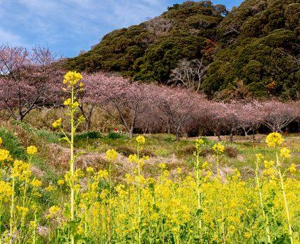 春をさがして 千葉南房総 抱湖園の桜と菜の花 #こぶツアー