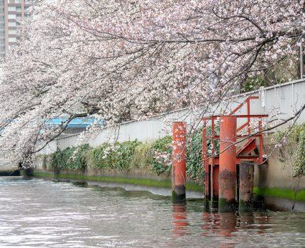 お花見クルージング2019 #桜 #ヤマハマリン #勝どきマリーナ