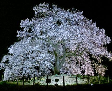 山梨桜巡り2019 ライトアップで神秘的な美しさ 母なる桜と水仙の子供たち わに塚の桜 #桜 #こぶツアー