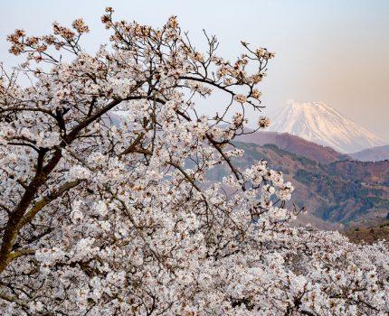 山梨桜巡り2019 富士山と桜のコラボ 大法師公園  #桜 #こぶツアー