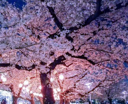 スマホとLightroom CCアプリで夜桜を印象的にシェア