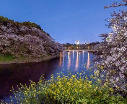 月明かりで撮影する千鳥ヶ淵の夜桜 #桜