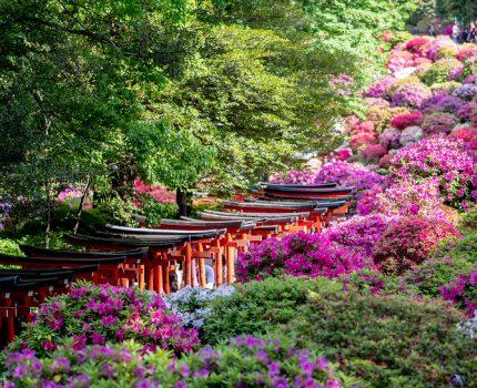亀戸天神 藤まつり と 根津神社 つつじまつり と 谷中