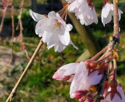 桜が咲いてきました #GalaxyNote10Plus