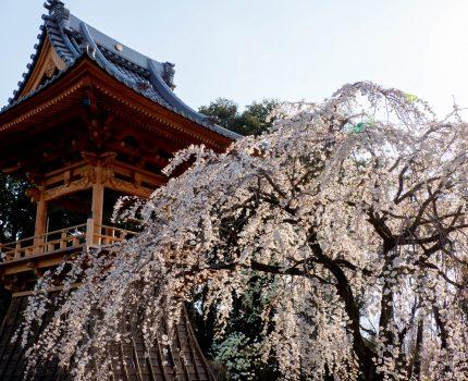 群馬 高崎のしだれ桜の名所 慈眼寺 #こぶツアー #桜