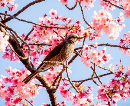 上野恩賜公園の桜とヒヨドリ #桜