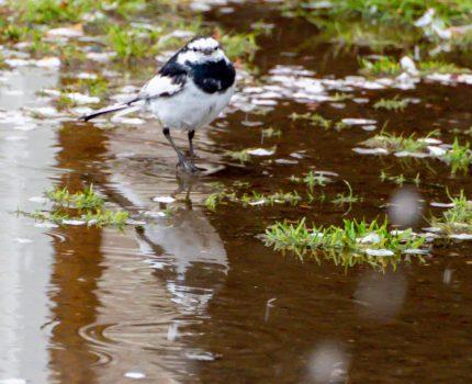 錦糸公園 桜と雪と鳥 #桜 #雪