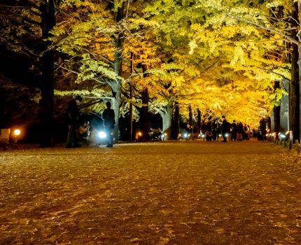 夕焼けとライトアップのイチョウ並木 昭和記念公園 黄葉紅葉まつり2020