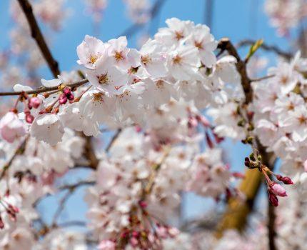 錦糸公園の桜 ソメイヨシノはまだだけど枝垂れ桜が見頃