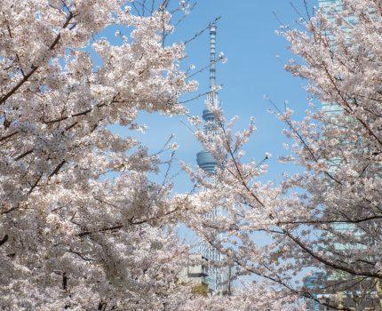 満開の桜を観ながら 錦糸公園 大横川親水公園 隅田公園 を散歩