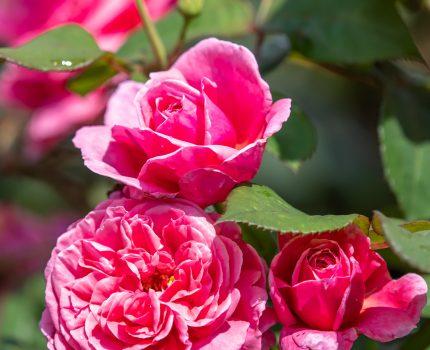 隠れたバラの名所 足立区立青和ばら公園