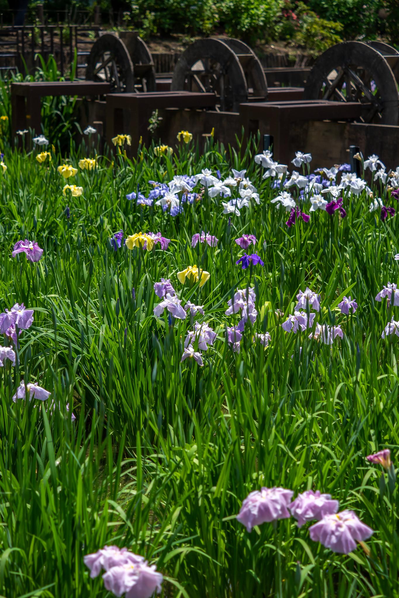 足立区の花菖蒲の名所 しょうぶ沼公園